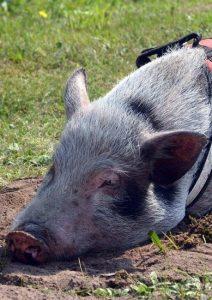 Miss Piggi
